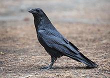 220px-corvus_corax_common_raven_yosemite_np_ca_us_-_diliff