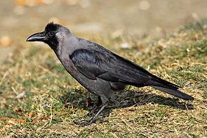 300px-house-crow444