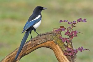 black-billed-magpie-image